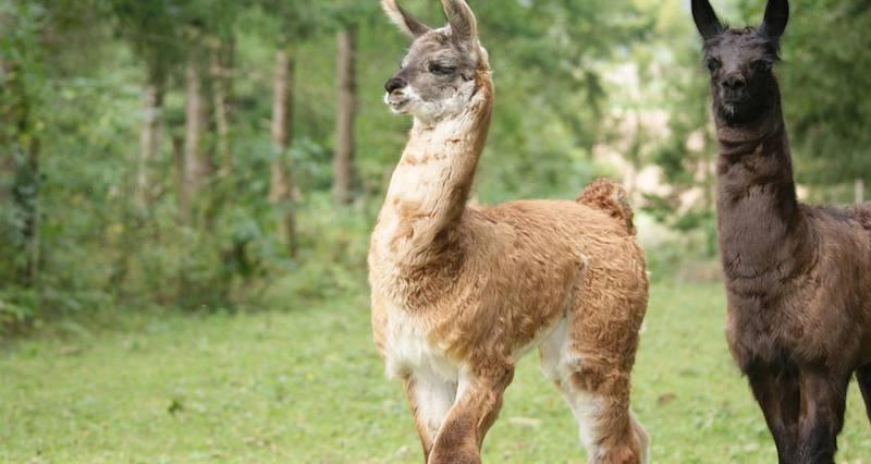 Séjour animalier lamas