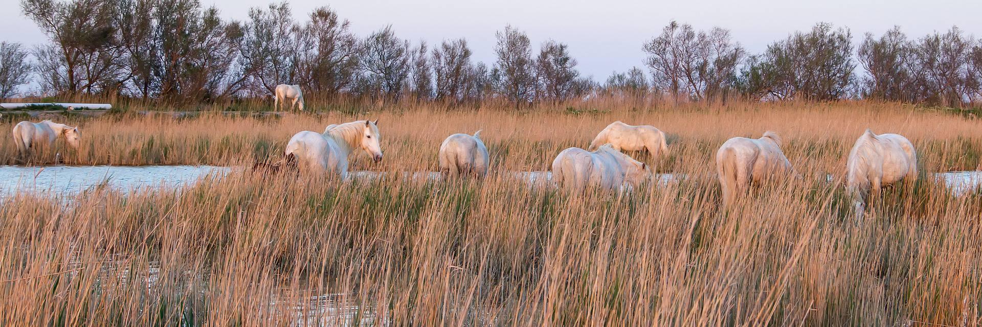 Chevaux sauvages en Camargue