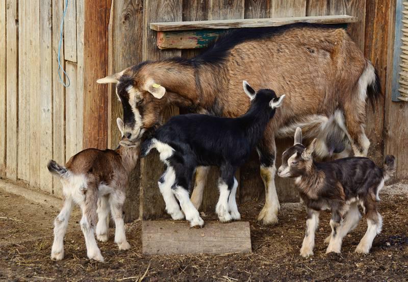 Jeunes chèvres jouant dans une ferme