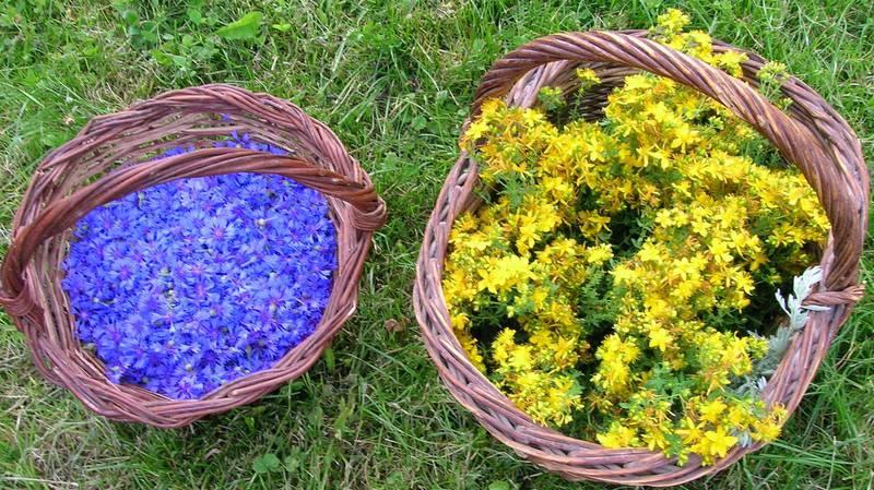 Fleurs de bleuets et millepertuis pour phytothérapie