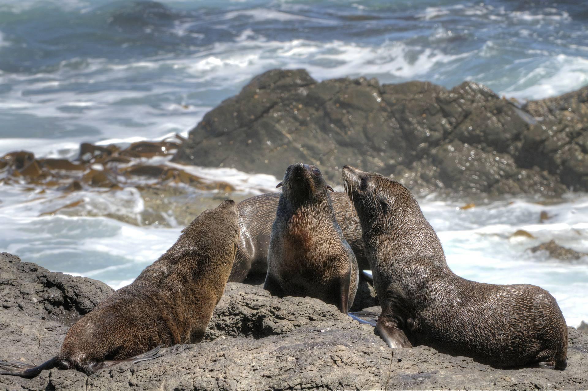 Otaries à fourrure - Réserve naturelle des Terres Australes