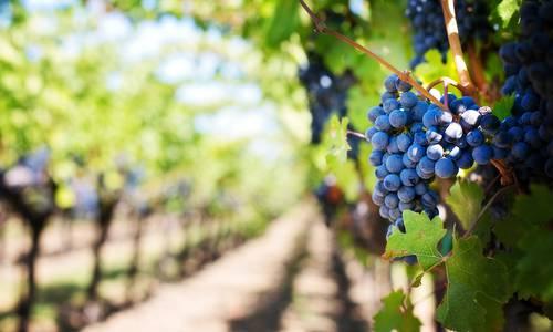 Grappe de raisin dans un champ de vignes