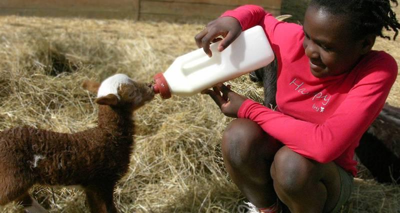 Petite fille donnant le biberon à un chevreau