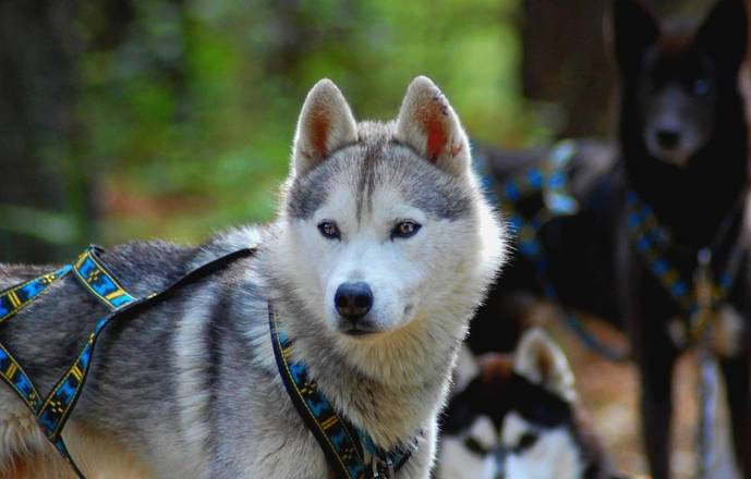 Cani kart avec une meute de Husky de Sibérie
