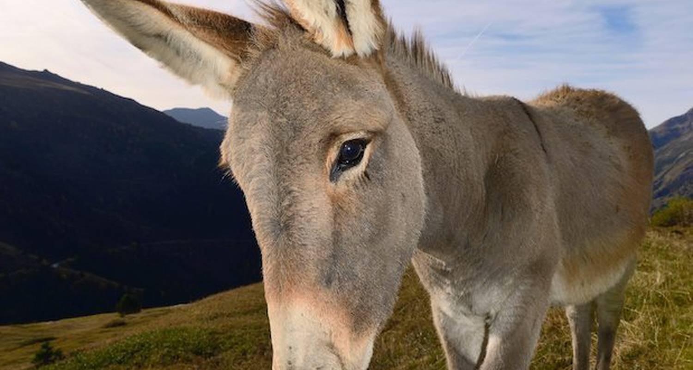 Activité: balades avec les ânes en mont-saxonnex (125871)
