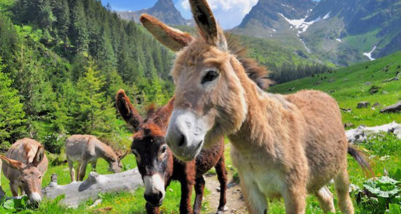 Activité: balades avec les ânes en mont-saxonnex (125855)