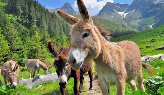 Balades avec les ânes