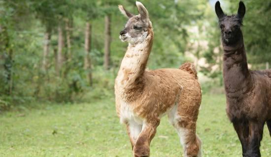 Visite à la Ferme aux lamas