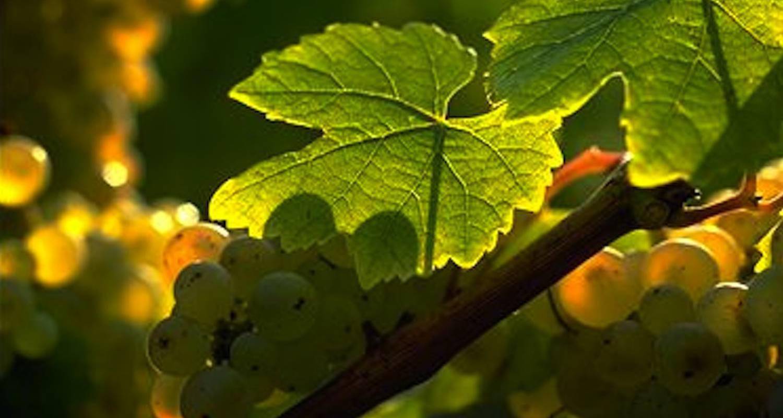 Activité: circuit vélo et dégustation dans les vignes de chablis à auxerre (126432)